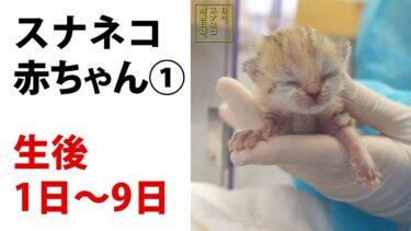 """""""砂漠の天使""""「スナネコ」の赤ちゃん公開へ"""